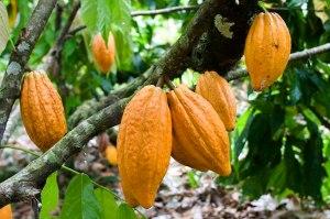 Pianta del Cacao Criollo